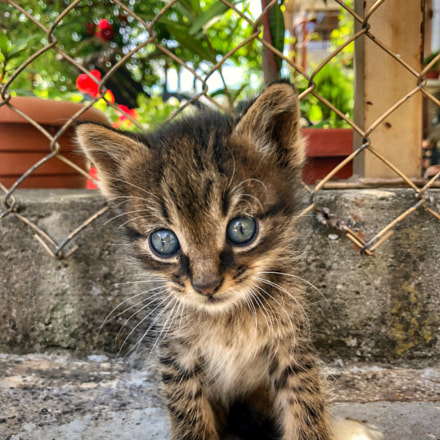 Little cute baby cat, Apple iPhone 8
