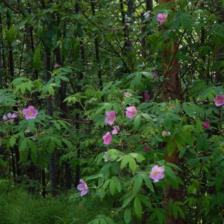 Prickly Roses, Nikon COOLPIX L830