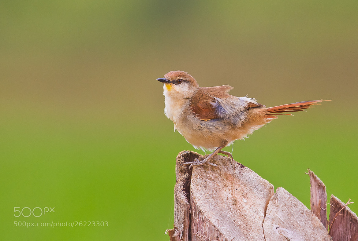 Photograph Yellow-chinned Spinetail (Certhiaxis cinnamomeus) by Bertrando Campos on 500px