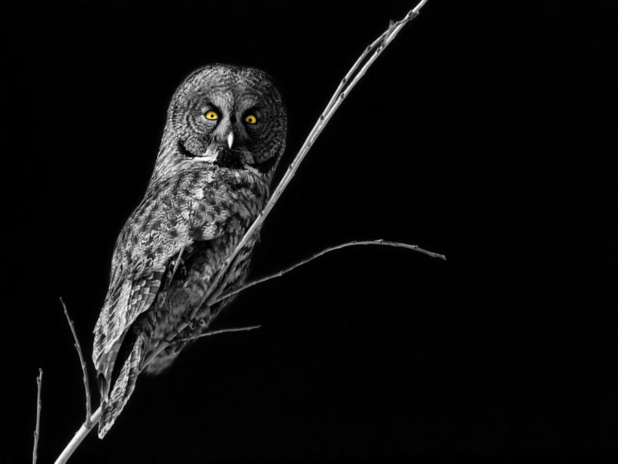 Photograph Great Grey by Peter Baumgarten on 500px