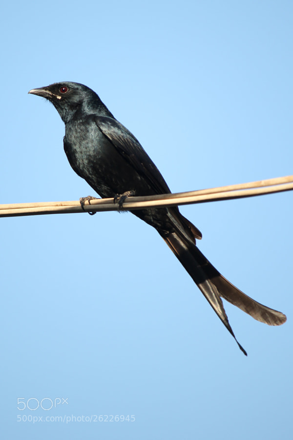 Photograph Black Drongo by Mihir Dhandha on 500px