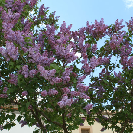 Lilas, Canon EOS 1300D, Canon EF-S 18-55mm f/3.5-5.6 III