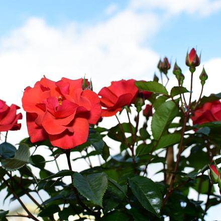 Roses, Nikon D7200, AF-S DX Nikkor 35mm f/1.8G