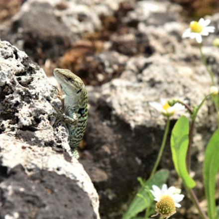 Italian Wall Lizard, Nikon D810, AF-S Nikkor 24-120mm f/4G ED VR