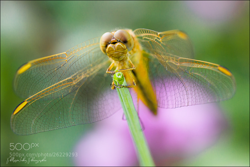 Photograph Dragonfly by philippe isabey on 500px