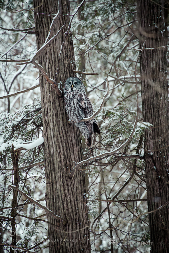 Photograph The Grey Owl by Dustin Abbott on 500px