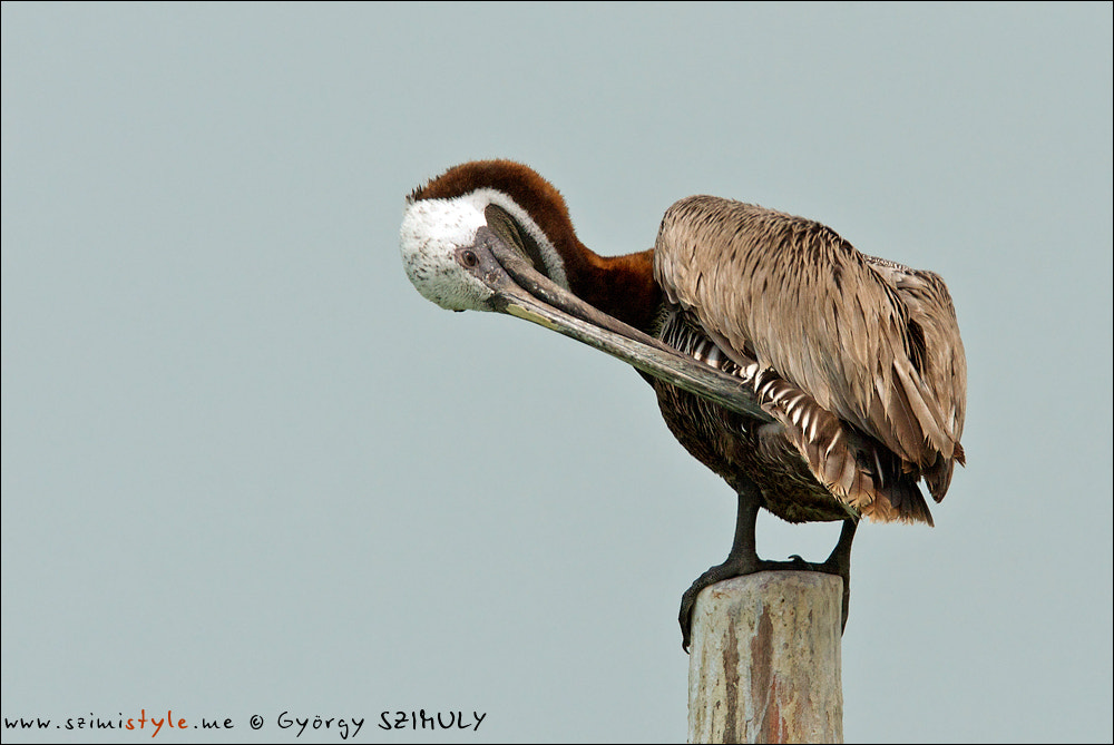Photograph Brown Pelican (Pelecanus occidentalis carolinensis) by Gyorgy Szimuly on 500px