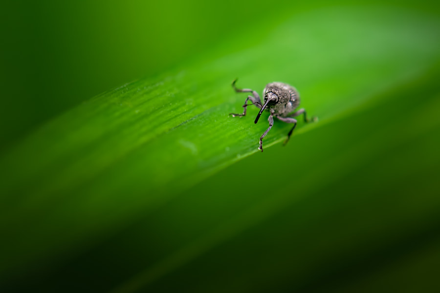 Weevil 7 by Jim Elve on 500px.com