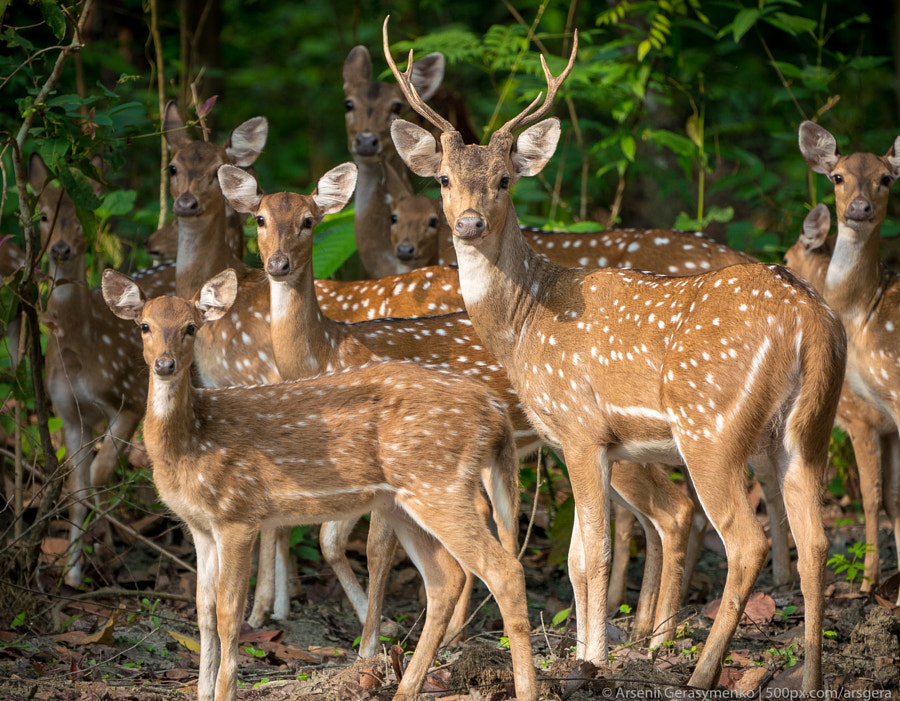 Dappled deers herd in the jungle, by Arsenii Gerasymenko on 500px.com