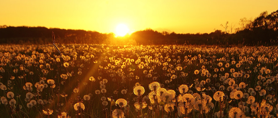A sunset dandelion field ... (2), автор — Carman God with me на 500px.com