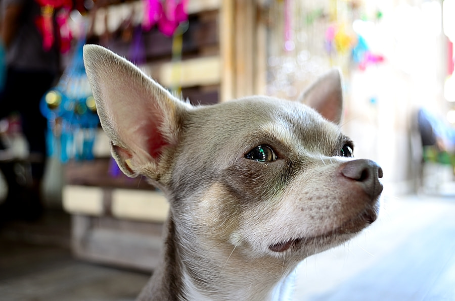Photograph Chihuahua by Ake13Bk Thanudngarn on 500px