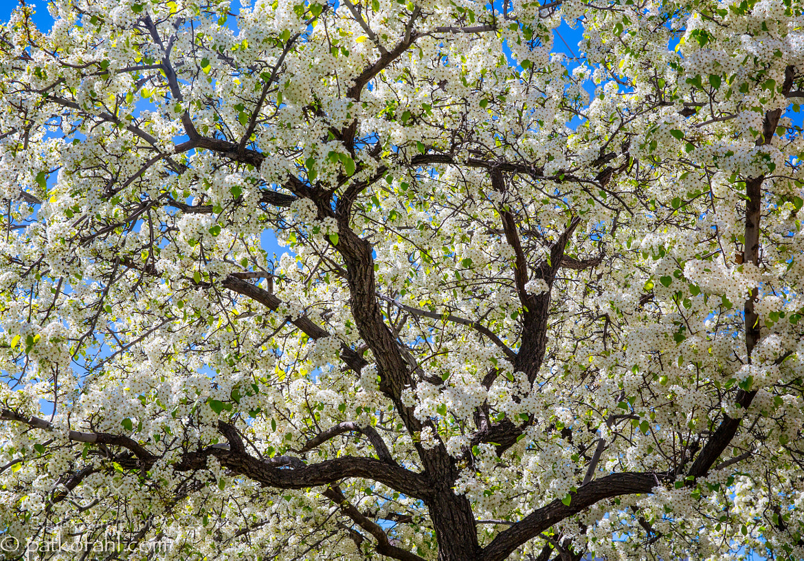 Photograph Spring Blossoms by Pat Kofahl on 500px