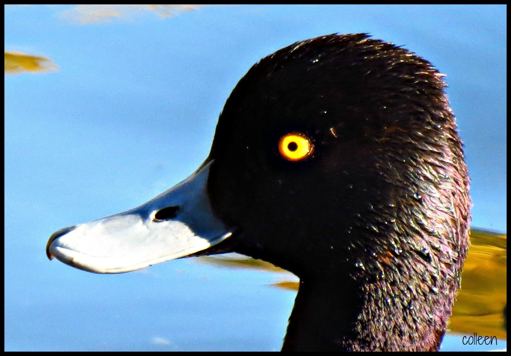 Photograph The Duck With The Golden Eye! by colleen thurgood on 500px