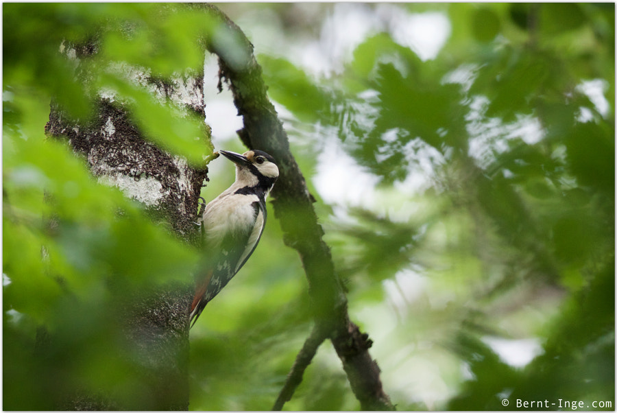 Great spotted woodpecker / Flaggspett by Bernt-Inge Madsen on 500px.com