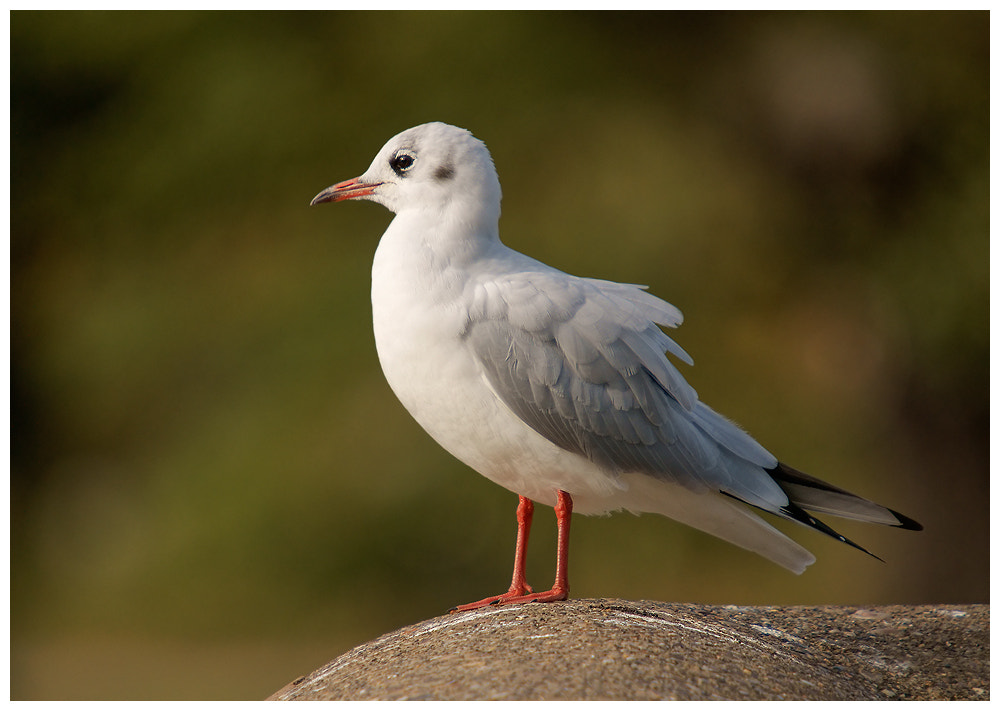 Photograph Black-headed Gull (first year) by Geoffrey Baker on 500px
