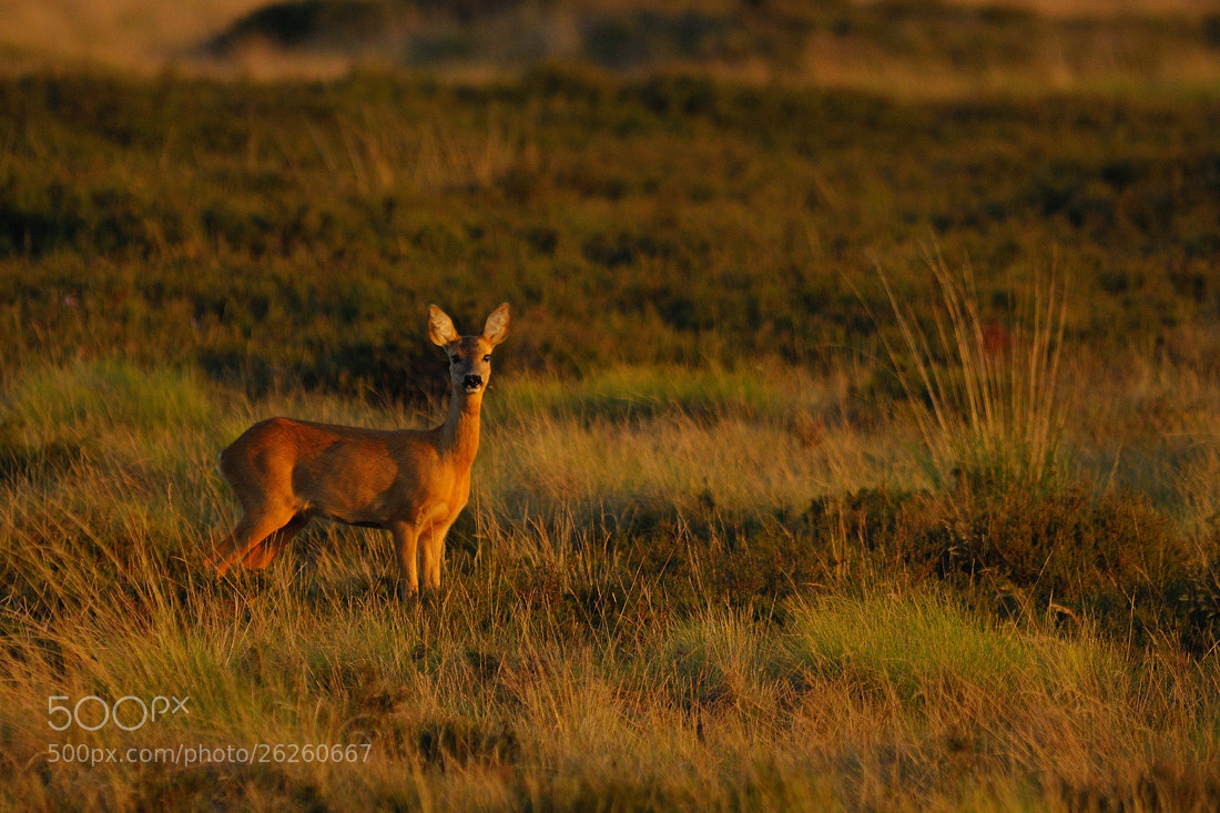 Photograph Evening Roe Deer by B Timmer on 500px