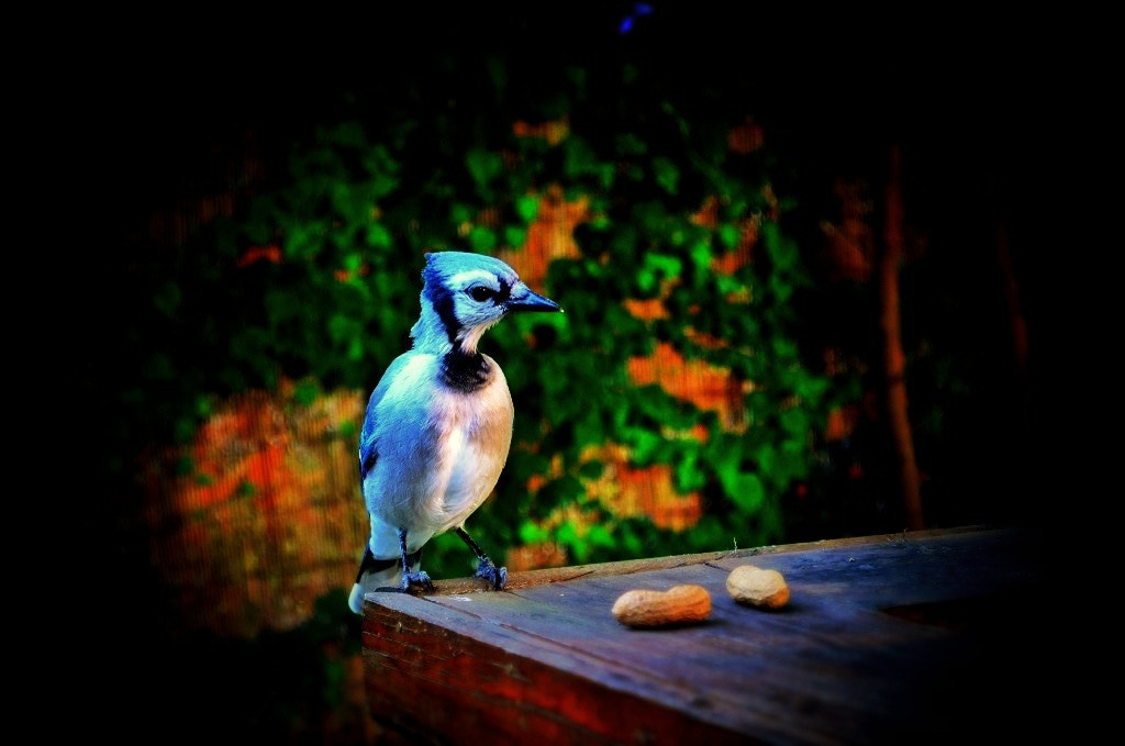 Photograph bluejay by Buddy 343 on 500px