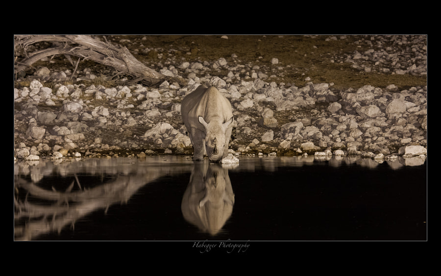 I saw this black rhino at the illuminated waterhole in Okaukuejo. Usually they come at 8pm sharp, so it's a safe bet...