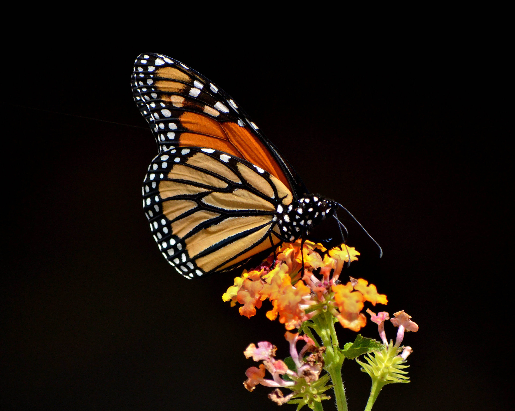 Photograph The Monarch by Susan Fisher on 500px