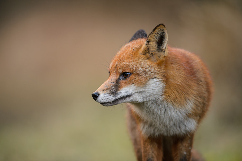 Photograph Portrait of a Fox by Andrew Mason on 500px