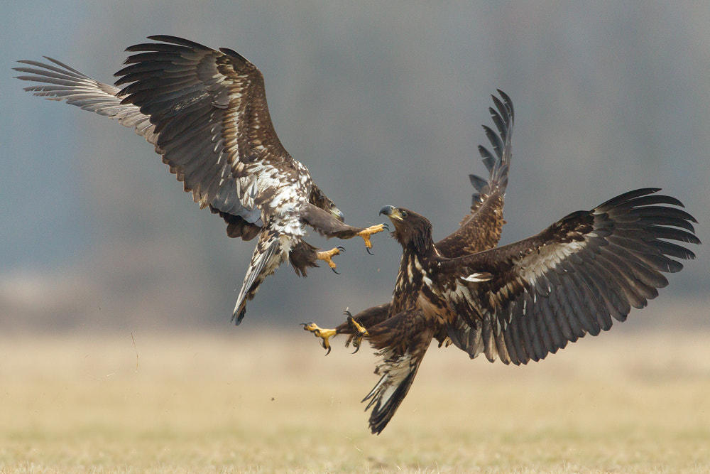 Photograph Fighting eagles by René Visser on 500px