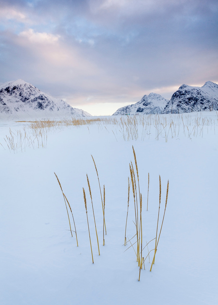 Photograph Snow grasses by Terry Gibbins on 500px