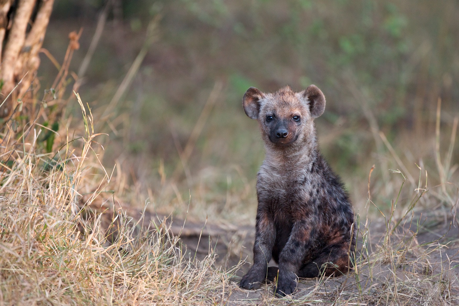 Photograph Hyena Toto by Jo Knight on 500px