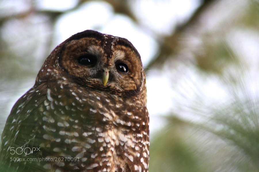 Spotted Owl thinking...seeing....