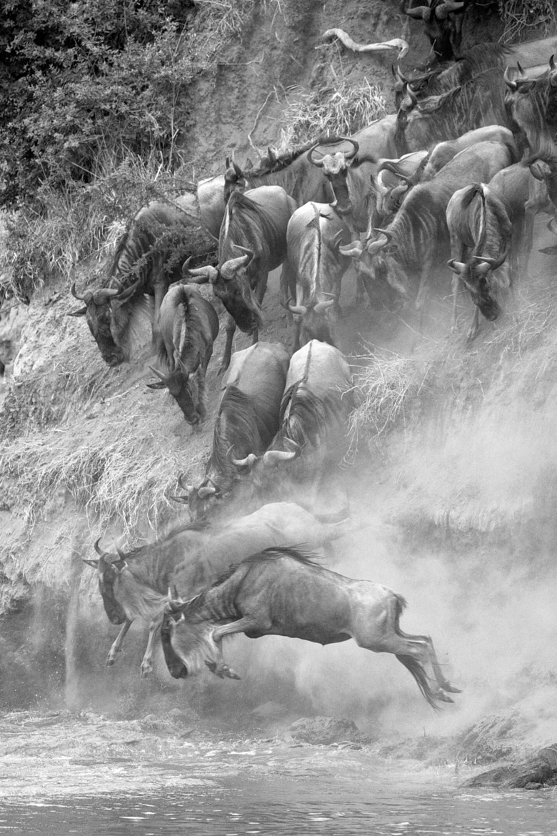 Photograph Wildebeest Migration by Jo Knight on 500px