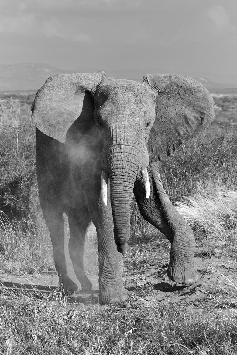 Photograph Laikipia Elephant thinking about charging by Jo Knight on 500px