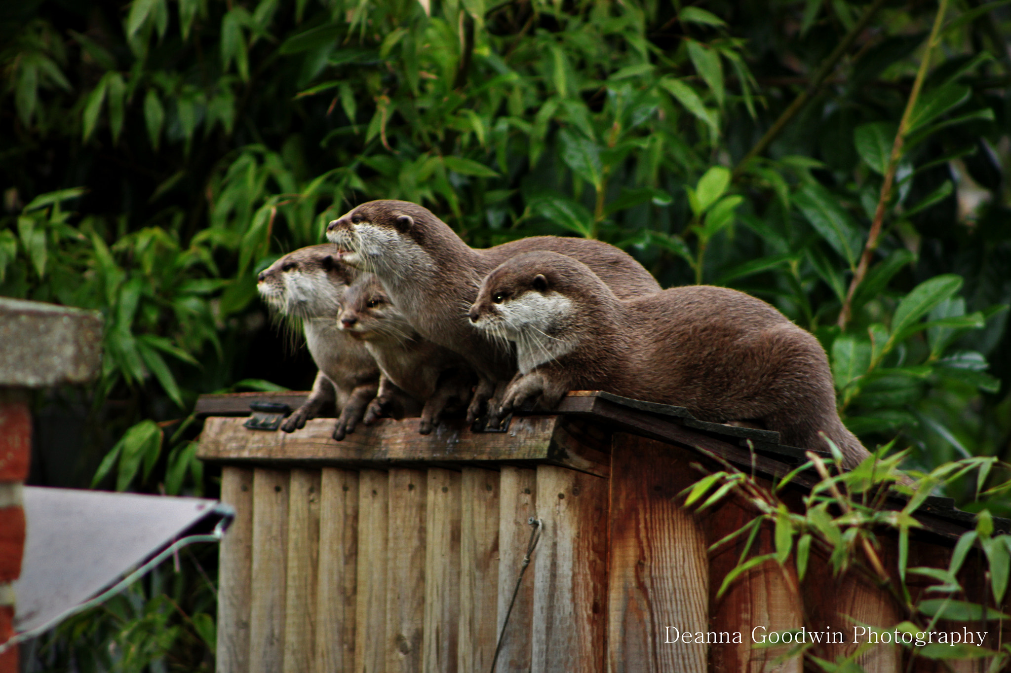Photograph Otter family by Deanna Goodwin on 500px