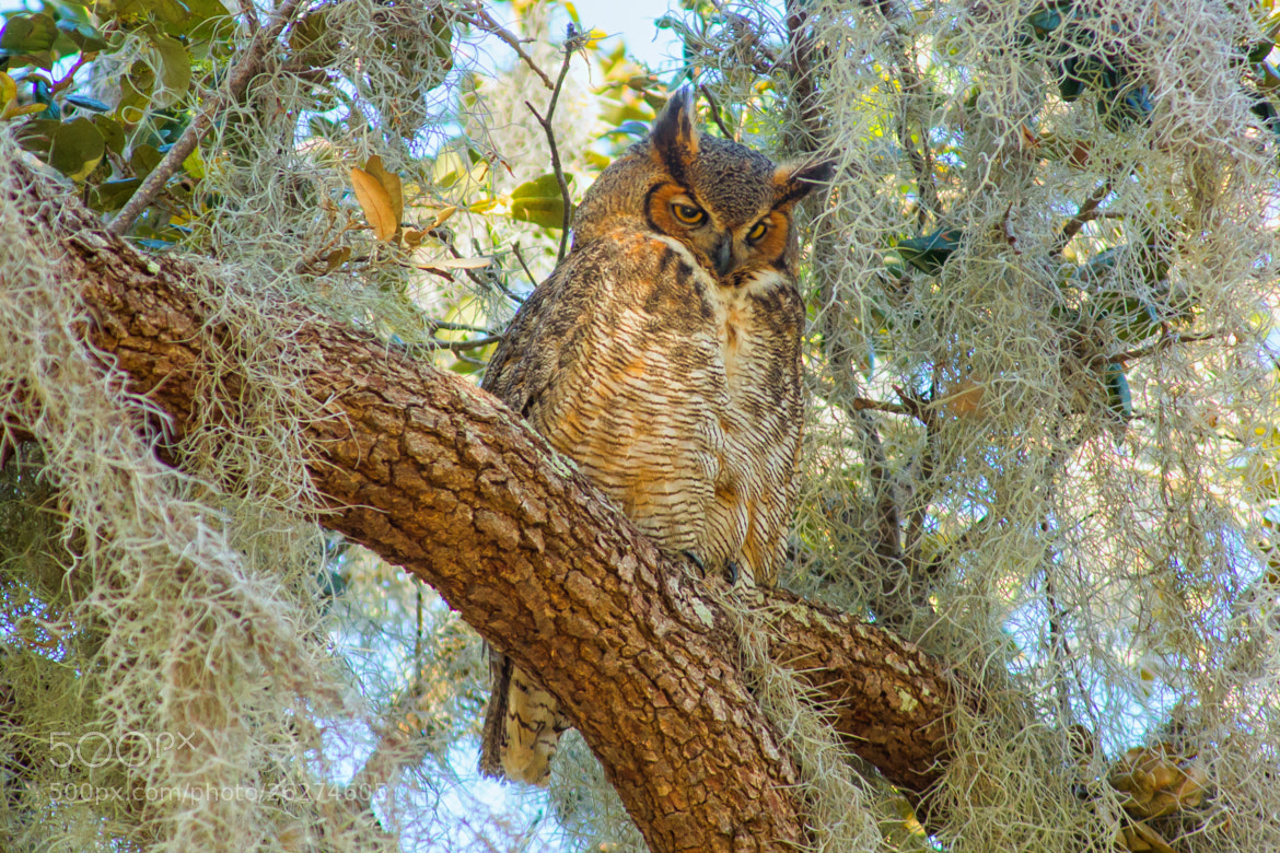Photograph Florida Great Horned Owl by George Bloise on 500px