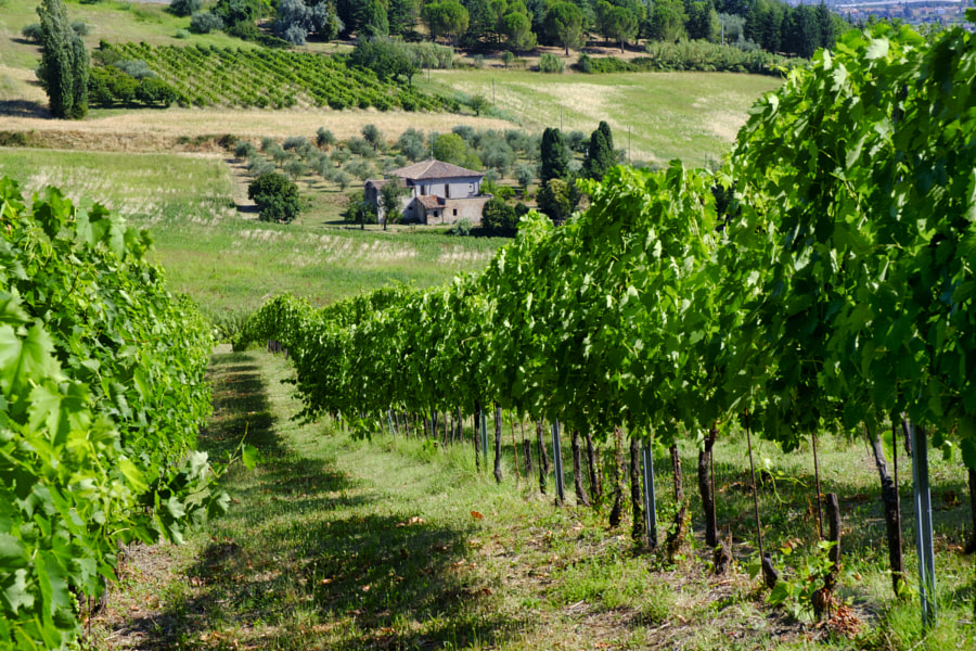 Landscape in Romagna at summer: vineyards by Claudio G. Colombo on 500px.com
