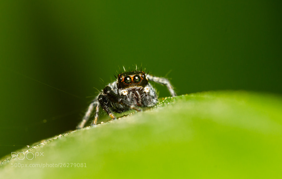 Photograph Jumping Spider by Rodrigo Rafael on 500px