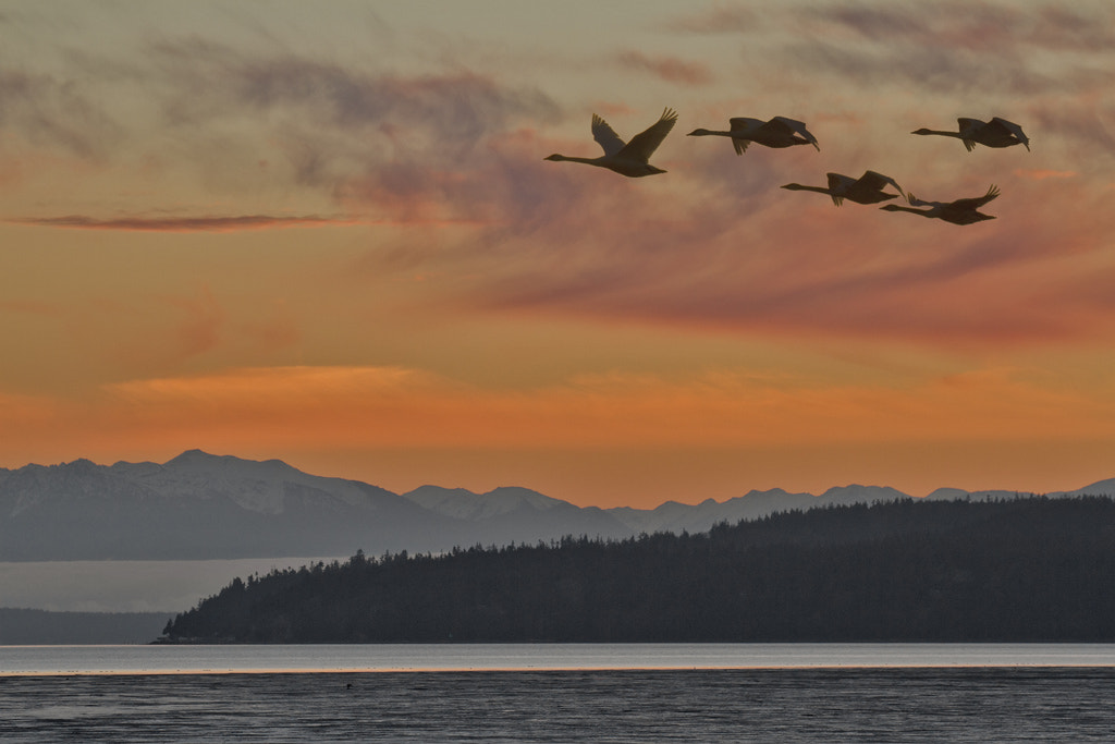 Photograph Sunset Swans & Skagit Bay by Duke Coonrad on 500px