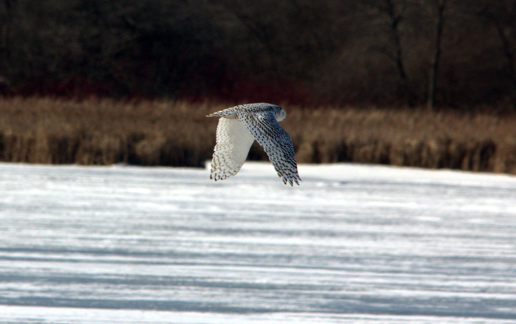 Photograph Snowy Owl in flight by Shane Lawrence on 500px