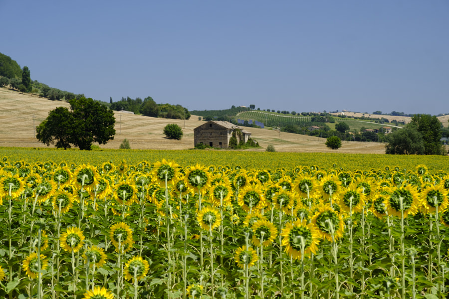 Summer landscape in Marches (Italy) near Montecassiano by Claudio G. Colombo on 500px.com