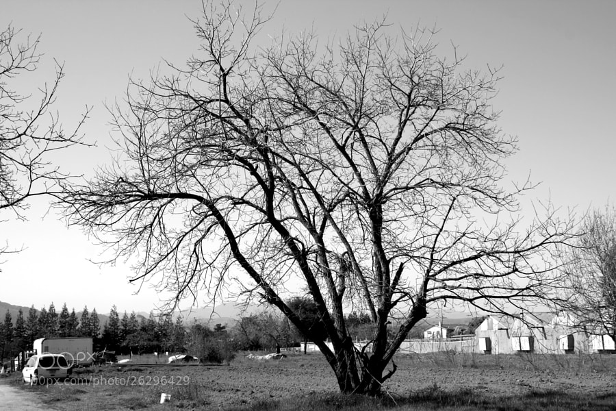 A thin tree with great width on a farm in Morgan Hill, California.