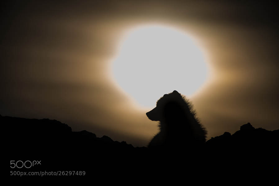 Photograph Polar wolf by Ivan Kislov on 500px