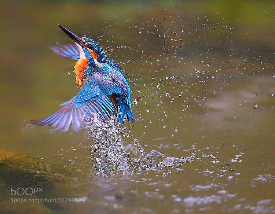 Photograph {Common Kingfisher} by Dajan Chiou on 500px