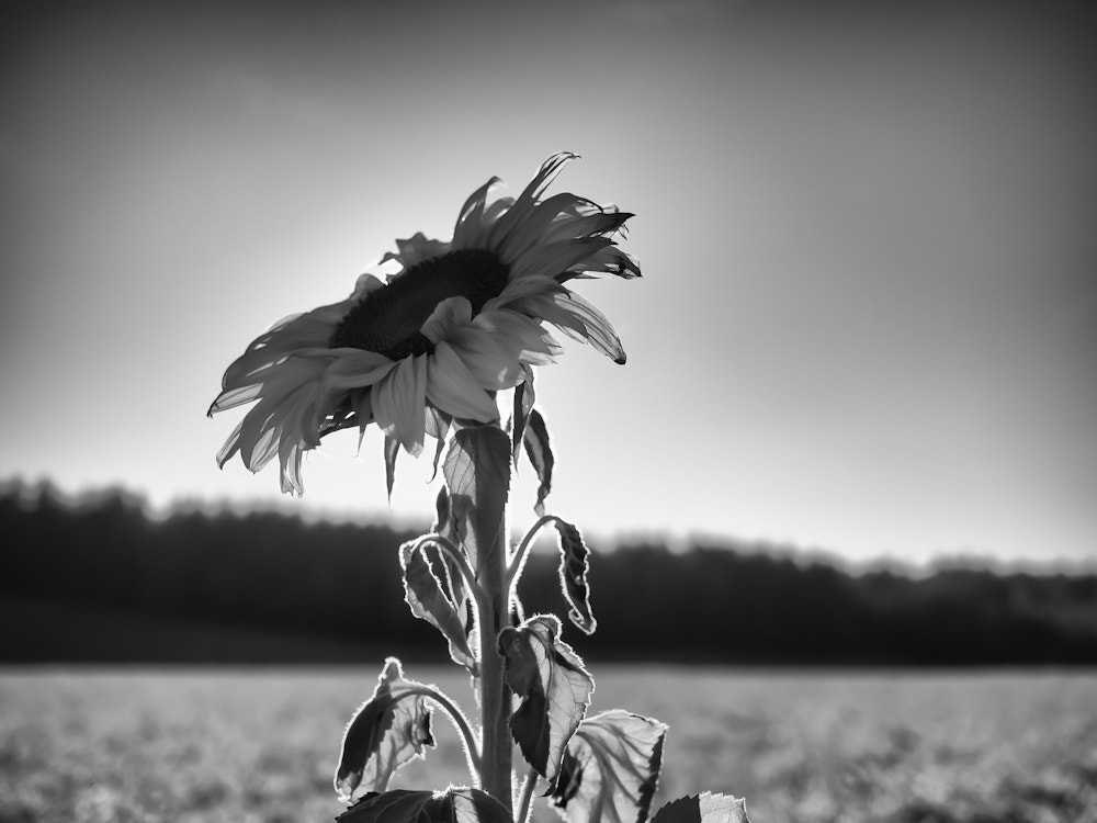 Photograph lonely sunflower by Rznag Rmrod on 500px