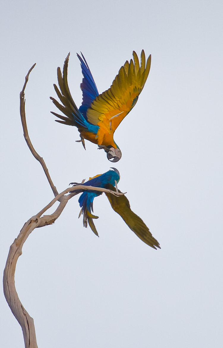 Photograph Blue-and-yellow Macaw (Ara ararauna) by Bertrando Campos on 500px