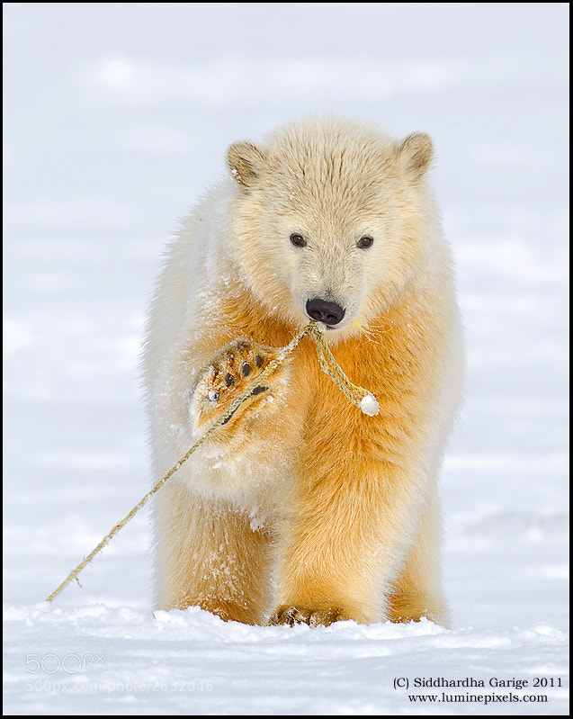 Photograph Polar bear cub Play time by Siddhardha Garige on 500px