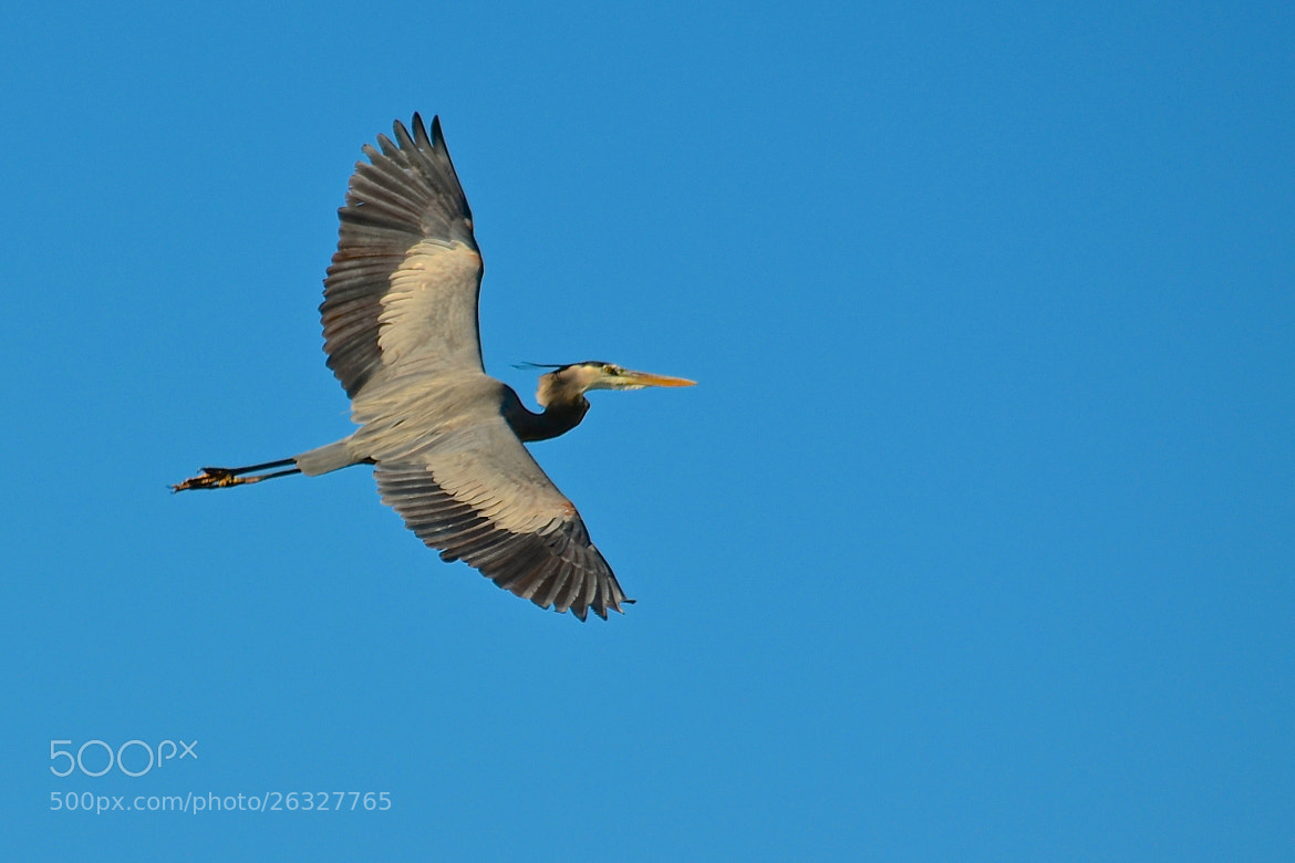 Photograph Great Blue Heron Flyby by Steven Bach on 500px