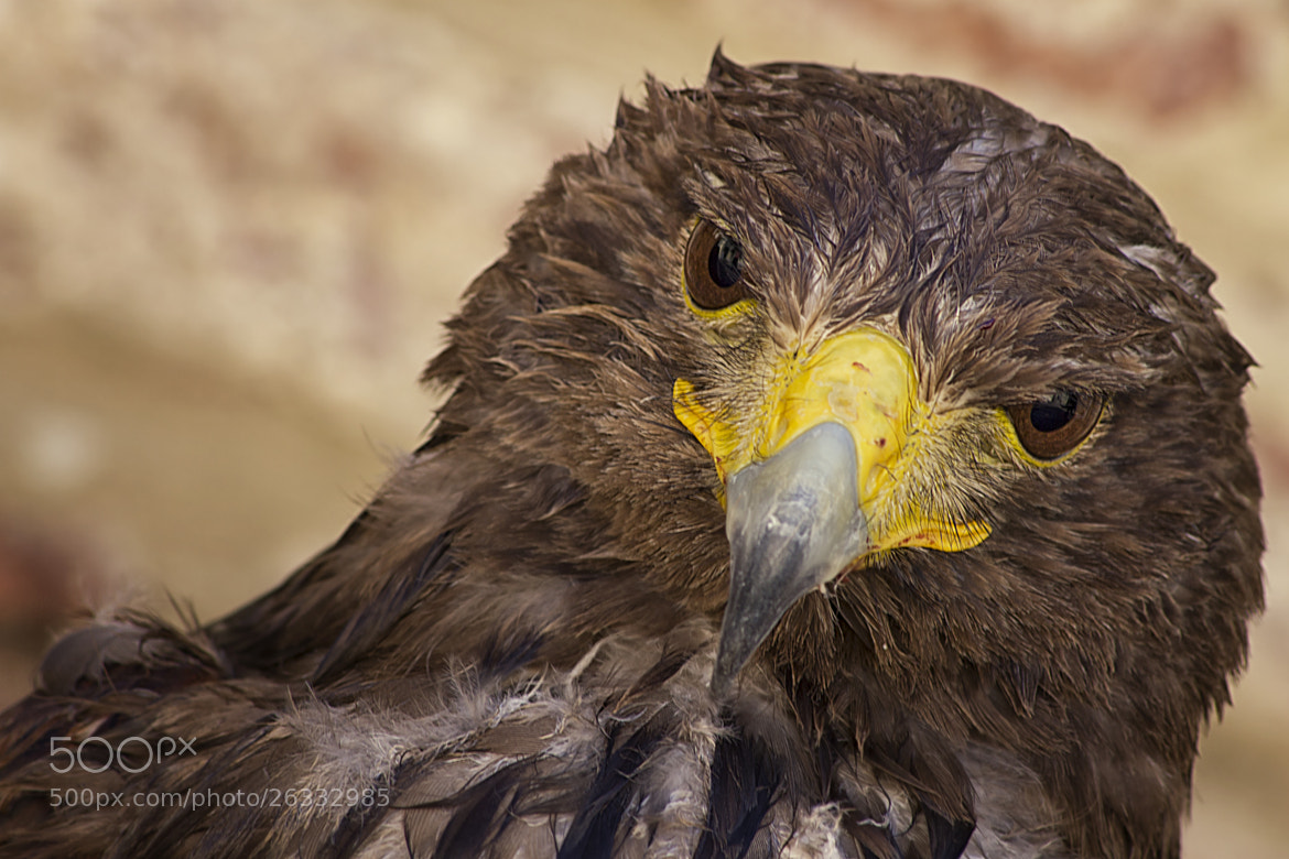 Photograph Eagle eyes by Antonio  longobardi on 500px