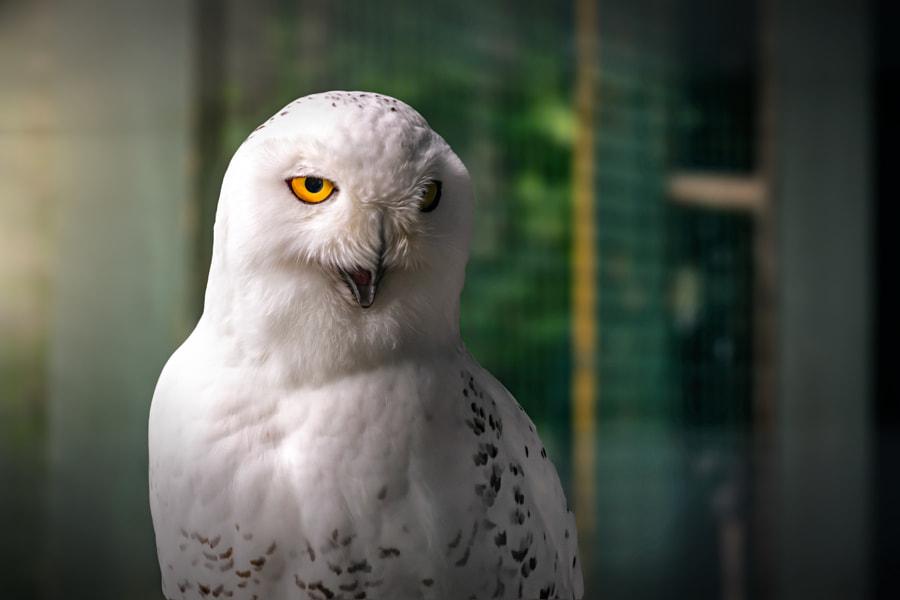 Snowy Owl by Wendy Blanchard on 500px.com