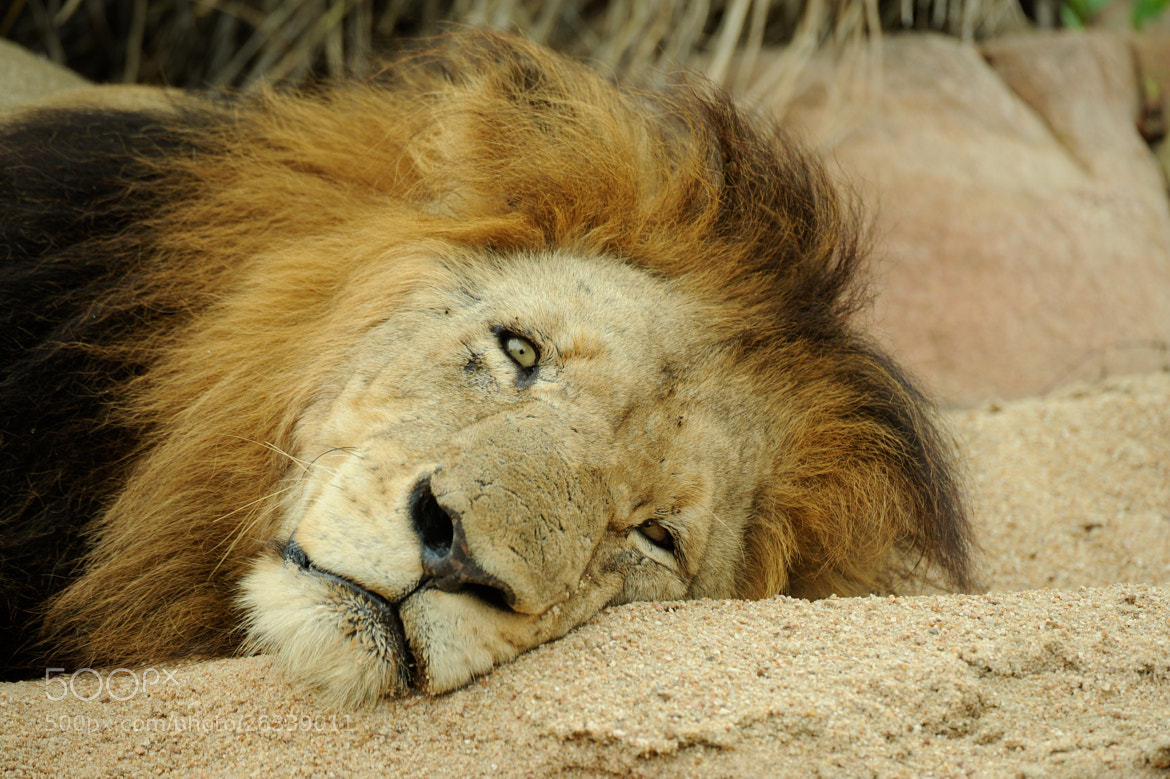 Photograph Lion death stare by Tim Lowry on 500px