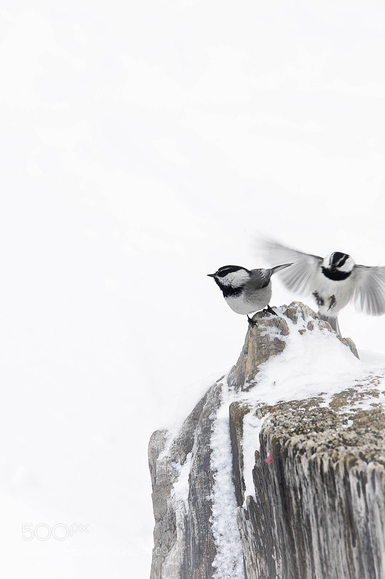 Photograph chickadees by David Schauer on 500px