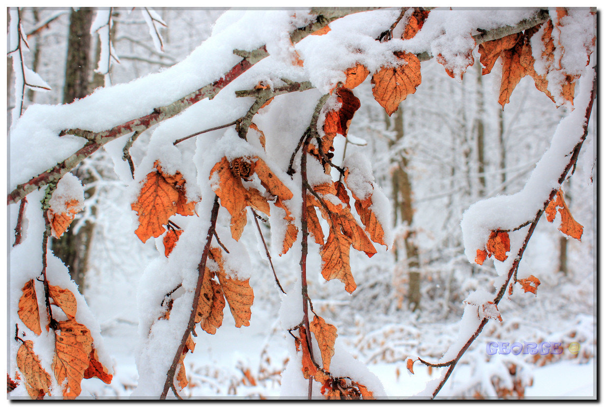 Photograph leaves of passion in snow  by George @  on 500px