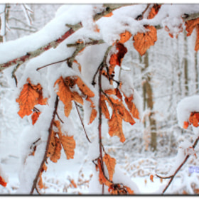 leaves of passion in snow  by George @ papaki (George_papaki)) on 500px.com